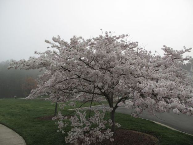 Cherry blossoms with distant fog