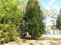 Native Cedars