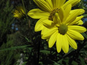 Helianthus angustifolius (Swamp Sunflower)-3