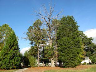 Looking East, Dead Oak in Southern Copse of Meadow Park
