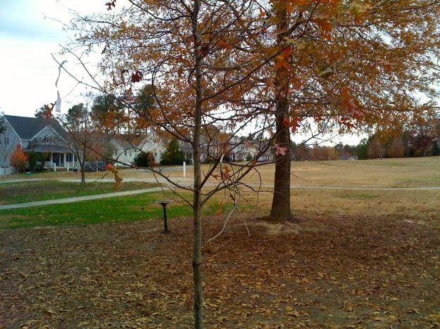 Nuttall oak (Quercus texans)