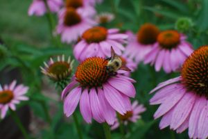 Echinacea purpurea (Purple Coneflower) - Photo by Susie Moffat