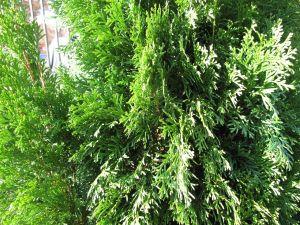 Thuja occidentalis 'Emerald' (Emerald Arborvitae)