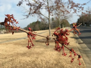 Acer rubrum (Red maple) female flowers