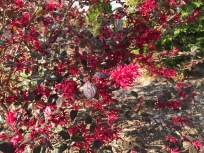 Loropetalum chinensis 'Ever Red' (Ever Red Loropetalum)