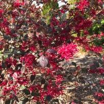 Loropetalum chinensis 'Ever Red' (Ever Red Loropetalum)