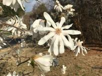 Magnolia stellata (star magnolia)